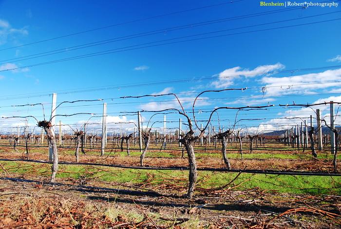 Vineyard 01