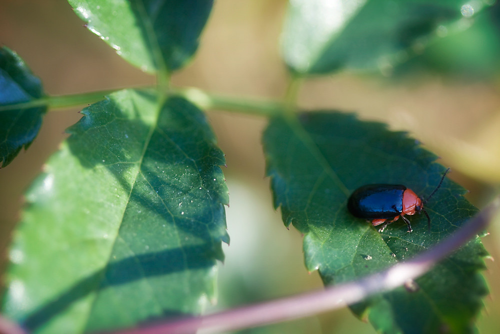 Shining Flea Beetle