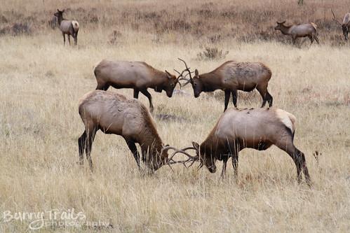 dueling bucks