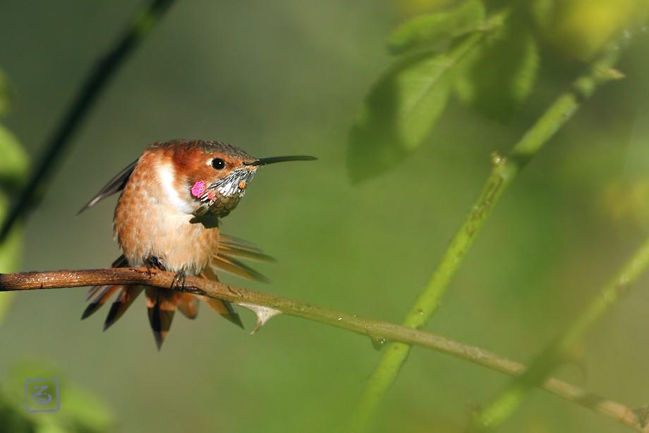 Allen's Hummingbird 10101-9