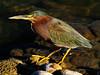 Young Green Heron (joecrowaz) Tags: city wild arizona color nature phoenix birds animals olympus 300mm zuiko birdwatcher hanks greenheron e500 naturesfinest blueribbonwinner supershot bej specanimal rawdevelopment colorphotoaward olympusmaster2 rubyphotographer