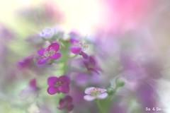 violet impression (Sa&Se.) Tags: flower macro purple violet sweetalyssum sonynex