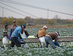 Migrant Workers Picking Cabbages in Ohio