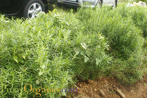 Kitchen Herbs-Tarragon2