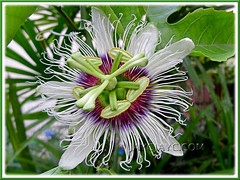 Passiflora edulis (Purple passionfruit/granadilla), first-time bloomer in our garden