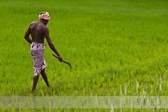 India at its best - Hard workers (Amar Ramesh Photography) Tags: black color green water village rice fierce knife towel farmer ricefields tamilnadu southindia lungi kaili karaikudi onethird