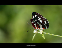 Butterfly {Explore Front Page} (Vijay..) Tags: black home canon butterfly zoom stripes explore lucky frontpage frustrated ef70300 tumsar vijayphulwadhawa