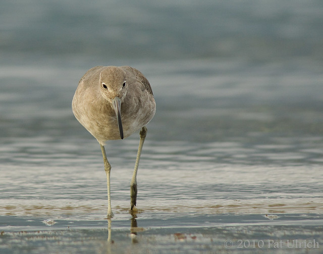 Willet, focused