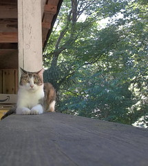 Patches Calico on the Porch photo of the day 7/5/2017 (Patches Madison) Tags: patches calico cat outdoor porch pet ♥ adorable cute sweet pretty beautiful