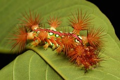 """A freshly moulted Stinging Nettle Slug Caterpillar (Cup Moth, Limacodidae) """"The Clown"""" completes the process by eating its shed skin (John Horstman (itchydogimages, SINOBUG)) Tags: insect macro china yunnan itchydogimages sinobug cup moth lepidoptera limacodidae stinging nettle slug caterpillar larva clown moult theclown red topf25 top"""
