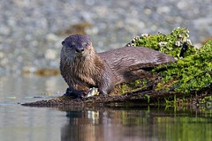 River Otter mid meal  (r) (Melanie Leeson) Tags: riverotter otterinthewild otter male wildlife naturephotography melanieleesonwildlifephotography blingsister canon canon7dmarkii canonef100400mmf4556lisiiusm14xiii