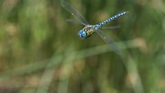 ♂ Spanish Blue eyed (jrosvic) Tags: dragonfly libelula odonato odonata anisoptera anisoptero aeshnidae aeshnaaffinis loslavajossinarcas comunidadvalenciana spain nikond7100 nikon60mm28dmicro kenkopro300x14 freehand vuelo flying