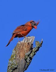 Cardinal rouge en mue / Nothern Cadinal (Richard Vézina) Tags: wildlife cardinalis bird mutation nikonafsnikkor300mmf4epfedvr nikond500 nikontc14eiii