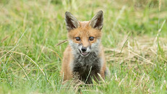 ... Attitude ... (Grandpops Woodlice) Tags: fox foxcub