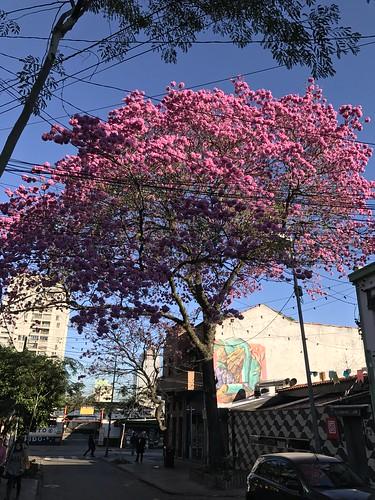 O ipê-rosa, São Paulo (winter), Brazil.