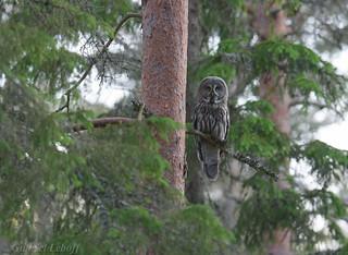 Chouette lapone Great Grey Owl  2387_DxO.jpg