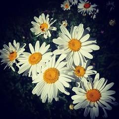 Shasta Daisies (Robert_Brown [bracketed]) Tags: robertbrown photography portland oregon summer 2017 shasta daisy shastadaisy daisies flower floral instagram