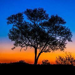 Tree at sunset (Enrique Mesa) Tags: sudáfrica puestadesol sunsetkrugerparkparquekruger landsape paisaje silueta silhouette