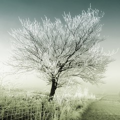 The Tree Of Christmas Past! (Samantha Nicol Art Photography) Tags: blue winter snow tree green art nature fence square scotland nikon freezing lone icy samantha toned bushes ayrshire nicol artofimages bestcapturesaoi elitegalleryaoi