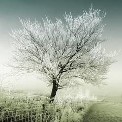The Tree Of Christmas Past! (Samantha Nicol Art Photography) Tags: blue winter snow tree green art nature fence square scotland nikon freezing lone icy samantha toned bushes ayrshire nicol artofimages bestcapturesaoi elitegalleryaoi