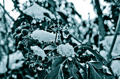 A Winter's Tale... (Chris H#) Tags: winter bw snow ice leaves berries northamptonshire queen s3000 awinterstale cranfordstjohn nikond5000