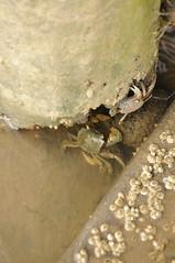 DSC_3625 (nicolasfeir) Tags: sea beach water del uruguay la muelle mar sand agua crab playa arena punta beaches este crabs barra seas mares maldonado cangrejos cangrejo
