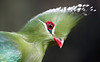 The Green Monster (San Diego Shooter) Tags: wallpaper zoo sandiego turaco sandiegozoo desktopwallpaper tauracolivingstonii greenbird challengeyouwinner livingstonesturaco thepinnaclehof f64g15r2win tphofweek29 sandiegodesktopwallpaper