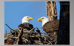 Bald Eagle parents (andrea pico estrada) Tags: eaglesnest babyeagle pascocountyeagles