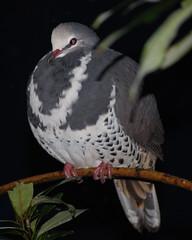 Dove 2 (tkmckinn) Tags: birds australia july09