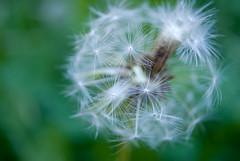 Dandelion (perminna) Tags: summer flower macro green bokeh dandelion nikkor extensiontube kenko kenko12mm 1855mmf3556gvr