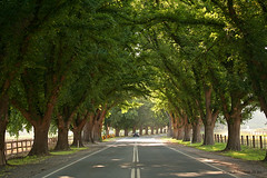 Avenue of Honour (Adam Dimech) Tags: trees tree rural countryside town country australia victoria bacchus marsh avenue elm honour treelined bacchusmarsh ulmaceae avenueofhonour bacchusmarshroad ulmushollandica ulmushollandica