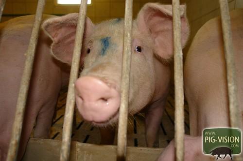 Mastschwein im Alter von 7 Monaten