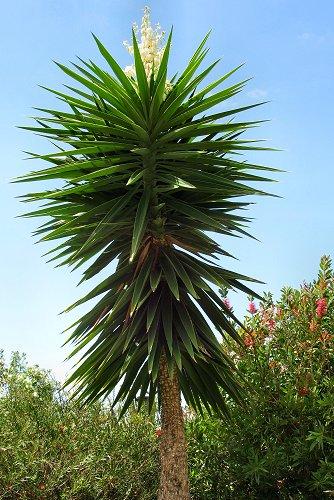 Yucca elephantipes (rq) - 01