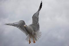 Seagull (Ali Majdfar) Tags: sky bird clouds flying