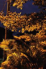 20100121_09 (Begonia) Tags: 50mm nikon af f18d