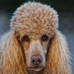 Presenting Cooper 3/52 (Perry McKenna) Tags: canada cinnamon cooper apricot standardpoodle on stittsville redpoodle 70200is28 52weeksfordogs pendragonpoodle