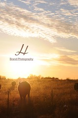 h brand cow sunset silouette - Dec 09 Sharon Ok copy (h brand photography) Tags: art western ranchart hbrand fineartfinephotography