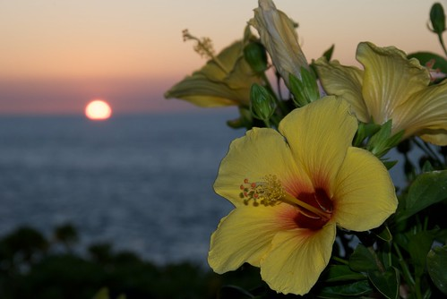 Yellow Hibiscus at a Kohala Coast sunset