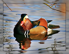 mandarin duck (philipelton50) Tags: wood male duck mandarin marsh colourful habitat imported flickraward rubyphotographer vividandstriking naturegreenpeace