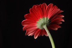 Gerbera Daisy - 3 (David DeHoey) Tags: red black nikon flash perspective gerbera isolated strobist