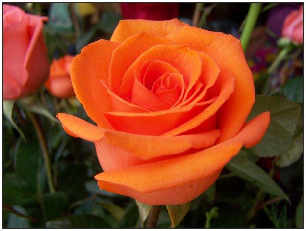Rosa naranja 3