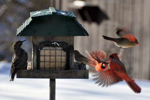 Cardinals - In Flight