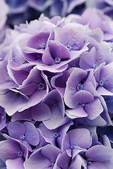 33580 (Clive Nichols) Tags: hydrangea shrub hortensia mophead macrophylla hortensis anhong clivenichols flickrhydrangeas