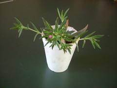 DSCN0004 (Maria luisa y sus cactus) Tags: cactus y otros mis interesantes injertos