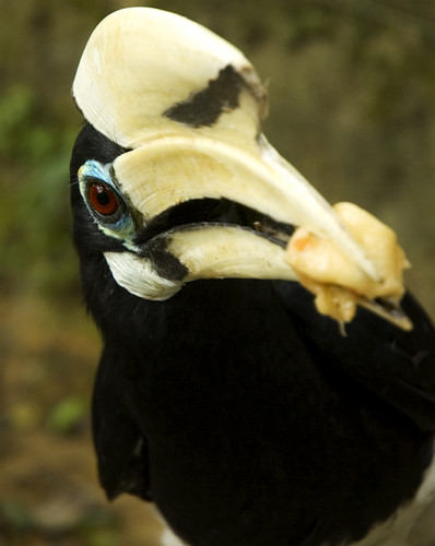 Blue Hornbill