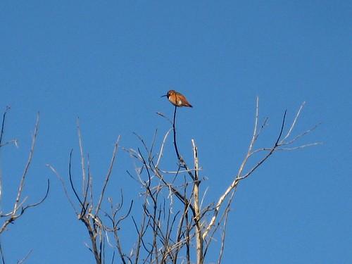 tiny hummingbird, big twig