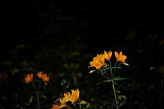 amankay (Bogaugon) Tags: wild flower flor andes silvestre astromelia amankay