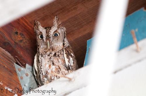 Eastern Screech Owl-66