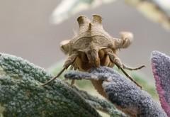 Mullein Moth (David_Curtis) Tags: moth sage mullein
