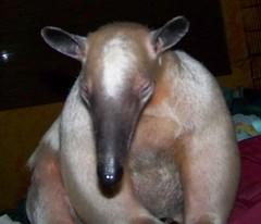 Sleepy anteater